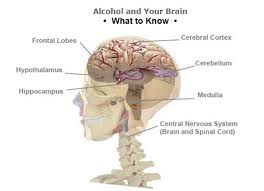 Alcohol impacts the developing adolescent brain